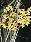 BINDendrobium Gatton Sunray Orchid Species Beautiful Blooms Must Have