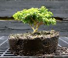 Kingsville Boxwood Bonsai Tree KBC 722C