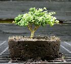 Kingsville Boxwood Bonsai Tree KBC 722D