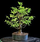 Pre Bonsai Tree Collected American Elm CAE 803H