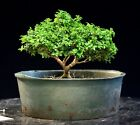 Kingsville Boxwood Bonsai Tree KBC 807D