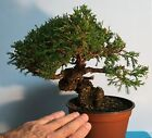 ONE OF THE FINEST ITOIGAWA JUNIPER SHOHIN BONSAI STOCK OFFERED IN THE US RARE
