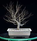 Pre Bonsai Tree Collected American Elm CAE 907J