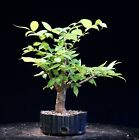 Pre Bonsai Tree Collected American Elm CAE 907N