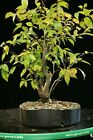 Pre Bonsai Tree Collected American Elm CAE 916B