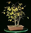 Pre Bonsai Tree Collected American Elm CAE 1028J