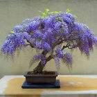 Bolusanthus speciosus Tree wisteria Elephant Wood WOW GREAT for Bonsai  WOW