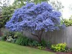 25 Creeping Mountain Lilac Seeds Tree Fragrant Hardy Perennial Flower Shrub 424
