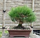Bonsai Tree Japanese Black Pine JBP 109