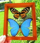 2 REAL FRAMED BUTTERFLY BLUE MORPHO DIDIUS  BIG TIGER PAPILIO ZAGREGUS AMAZING