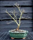 Bonsai Tree Japanese Maple Shishigashira JMSG 129B