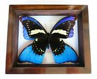 REAL FRAMED BUTTERFLY PAPILIO PERU  4 BLUE WINGS