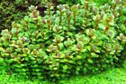 3 Stems True rotala Bonsai Live aquarium plants beautiful FREE S H Rare