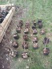Japanese Maple Acer Palmatum Pre Bonsai Seedling Stock 4 Potted 3 4 years