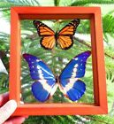 2 REAL FRAMED BUTTERFLY BLUE MORPHO HELENA  MONARCH MOUNTED DOUBLE GLASS