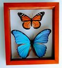 2 REAL FRAMED BUTTERFLY BLUE MORPHO DIDIUS  MONARCH MOUNTED DOUBLE GLASS