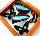 4 REAL FRAMED BUTTERFLY BLUE MORPHO ACHILLES DOUBLE GLASS AMAZING BUTTERFLIES