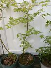 Japanese Green Maple Pre Bonsai Starters 4 5 year tree Beautiful tree Ready