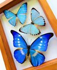 3 REAL FRAMED BUTTERFLY HYBRID BLUE MORPHO DOUBLE GLASS AMAZING BUTTERLIES