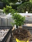 Kingsville Boxwood Dwarf Bonsai