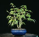 Bonsai Tree Japanese Green Leaf Maple JMGL 626B