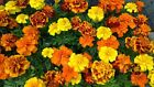 French Marigold Sparky Mix Beautiful Colors Garden Pest Deterrent FREE SHIP