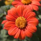 Mexican Sunflower Seeds Orange Tithonia Attract Butterflies Daisy Like Bloom