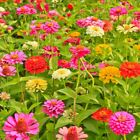 California Giants Zinnia Mix Seeds Bright Colors Cut Flowers Stunning