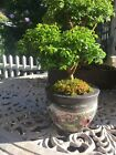 Kingsville Boxwood Dwarf Bonsai Tree 10 Years Old Excellent Specimen
