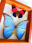 2 REAL FRAMED BUTTERFLY BLUE MORPHO DIDIUS  AGRIAS CLAUDINA LDOUBLE GLASS