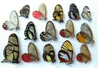 LOT OF 15 BUTTERFLIES GLASS CLEAR WINGS UNMOUNTED A1 FROM PERU NEW