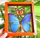 2 REAL FRAMED BUTTERFLY BLUE MORPHO DIDIUS  SCARLET CETHOSIA DOUBLE GLASS
