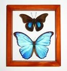 2 REAL FRAMED BUTTERFLY BLUE MORPHO DIDIUS  PREPONA C MOUNTED DOUBLE GLASS