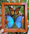 2 REAL BUTTERFLY NORTH AMERICAN MONARCH  MORPHO DIDIUS SEE THRU DOUBLE GLASS