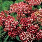 100 Butterfly Weed Seeds Carmine Rose Flower Seeds