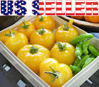 50+ ORGANICALLY GROWN Brandywine Yellow Tomato Seeds Heirloom NON-GMO Productive