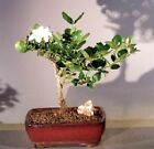 Dwarf Plum Bonsai Tree Flowering Indoor Bonsai carissa macrocarpa 7 yr 9 Tall