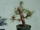 Japanese black pine bonsai stock7pn227stNice movementtapershohin size tree