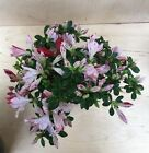 Rare Red And White Satsuki Azalea Flowering Bonsai Shohin Thick Trunk