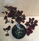 Royal Purple Smoke Tree Flowering Pre Bonsai Thick Trunk Plum Purple Leaves