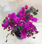 Deep Purple Bougainvillea Flowering Bonsai Tree Thick Trunk IN BLOOM