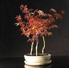 Japanese Maple 35 40 cm Forest Bonsai tree in oval ceramic pot