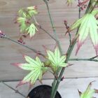 RARE Peaches And Cream Japanese Maple Pre Bonsai Tree Thick Trunk Nice Nebari