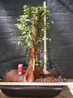 Pre Bonsai Bald Cypress 731