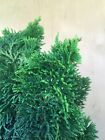 Dwarf Golden Hinoki Cypress Pre Bonsai Tree Shohin Thick Trunk