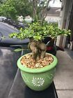 Very Old Black Olive Bonsai Tree