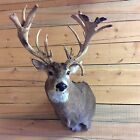Whitetail Deer Shoulder Mount Taxidermy 23 Points Horns Antlers NEW