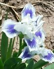 Open Your Eyes Dwarf Bearded Iris SDB Rhizome White blue Early Bloom Rock Garden