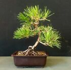 Shohin Black Pine Bonsai
