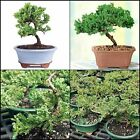 Green bonsai mound juniper tree outdoor plant garden easybrussel s light decor